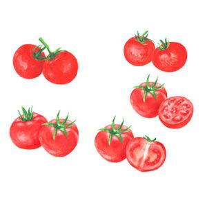 トマトの水彩イラスト
