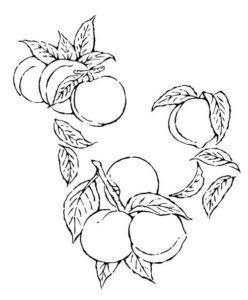 桃のモノトーンのドローイング