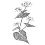 そばの花の水墨画風モノトーンイラスト