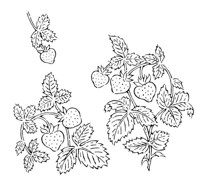 苺のモノトーンのドローイング