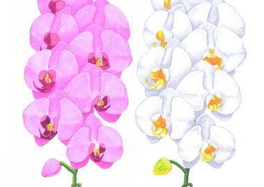 白とピンクの胡蝶蘭のイラスト